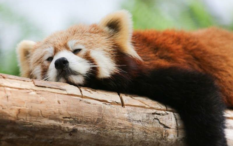 疲れたレッサーパンダ